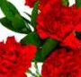 Buchet garoafe rosii