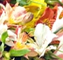 Alstroemeria mix