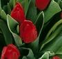 Buchet lalele rosii
