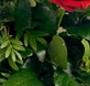 Trandafiri cu noroc